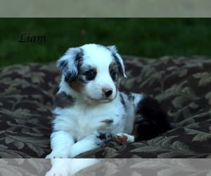 Australian Shepherd Puppy for Sale in SUISUN CITY, California USA