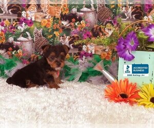 Yorkshire Terrier Puppy for sale in WINNSBORO, LA, USA