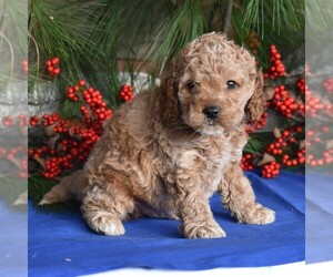 Cocker Spaniel-Poodle (Miniature) Mix Puppy for sale in MILLERSBURG, PA, USA