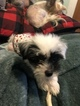 Small #7 Chinese Crested