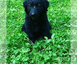 Golden Shepherd Puppy for sale in MIDLAND, VA, USA