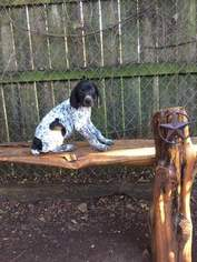 German Shorthaired Pointer Puppy For Sale in MANCHACA, TX