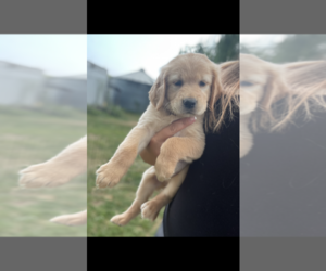 Golden Retriever Puppy for sale in ADCO, WA, USA