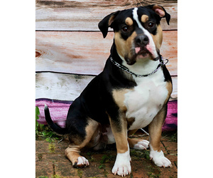 Father of the American Bully puppies born on 10/30/2020