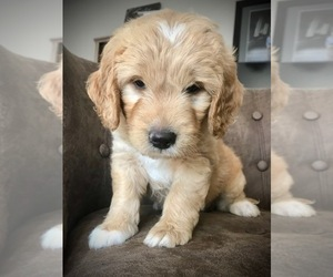 Goldendoodle (Miniature) Puppy for sale in WOODLAND, WA, USA