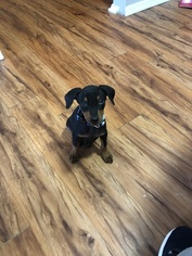German Pinscher Puppy For Sale in CLINTON, MS, USA