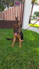 German Shepherd Dog Puppy For Sale in MIAMI, FL