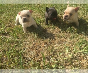 French Bulldog Puppy for Sale in CORAL GABLES, Florida USA