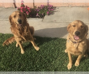 Mother of the Golden Retriever puppies born on 01/13/2021