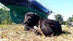 Puppy 5 Cane Corso