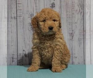 Goldendoodle (Miniature) Dog for Adoption in FREDERICKSBG, Ohio USA