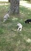 Great Dane Puppy For Sale in MCLOUD, OK, USA