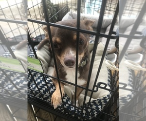 Chihuahua Puppy for sale in DALE CITY, VA, USA