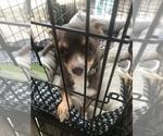 Small Photo #1 Chihuahua Puppy For Sale in DALE CITY, VA, USA