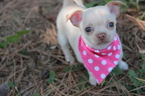 Chihuahua Puppy For Sale in EDMOND, OK, USA