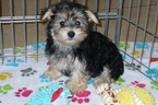 Morkie Puppy For Sale in TUCSON, AZ, USA