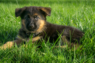German Shepherd Dog Puppy for sale in BOWLING GREEN, KY, USA