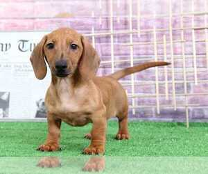 Dachshund Puppy for Sale in BEL AIR, Maryland USA