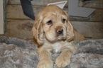 Cocker Spaniel Puppy For Sale in HONEY BROOK, Pennsylvania,