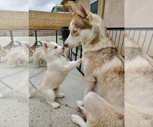 Siberian Husky Puppy for sale in FONTANA, CA, USA