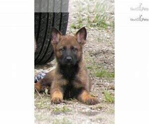 German Shepherd Dog Puppy for sale in THREE RIVERS, MI, USA