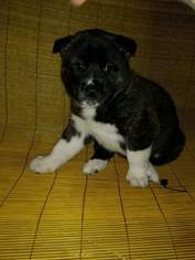 Akita Puppy For Sale in CHRISTIANSBURG, VA, USA