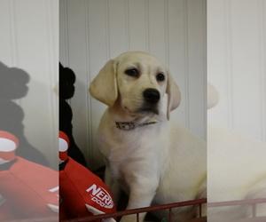 Labrador Retriever Puppy for Sale in BROOKSVILLE, Florida USA