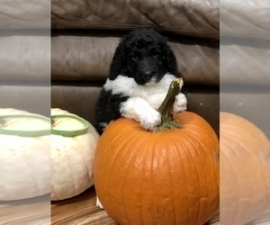 Poodle (Standard) Puppy for Sale in BELLA VISTA, Arkansas USA