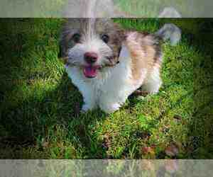 Havanese Puppy for Sale in MARSHFIELD, Missouri USA