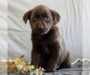 Labrador Retriever Puppy for sale in BUCKINGHAM, VA, USA