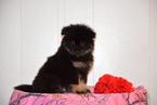 Pomeranian Puppy For Sale in FREDERICKSBURG, Ohio,