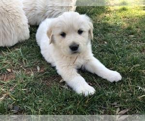 Golden Pyrenees Puppy for sale in WARRENTON, VA, USA