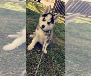 Siberian Husky Puppy for sale in WAYNESBORO, VA, USA