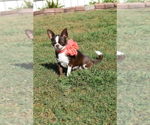 Mother of the Chihuahua puppies born on 09/25/2020