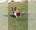 Small Photo #1 Chihuahua Puppy For Sale in HAMPTON, VA, USA