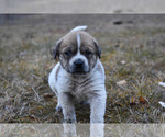 View Ad Catahoula Leopard Dog Great