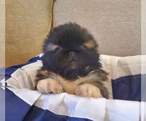 Pekingese Puppy for Sale in SMITHFIELD, North Carolina USA