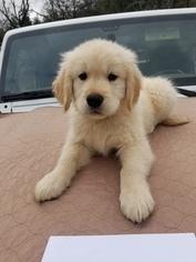 Golden Retriever Puppy For Sale in CLAYTON, CA, USA