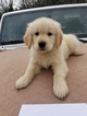 Golden Retriever Puppy For Sale in CLAYTON, CA, USA