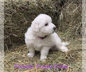 Maremma Sheepdog Puppy for sale in BRADNER, OH, USA