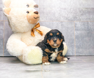 Miniature Bernedoodle Puppy for sale in AMITY, NC, USA