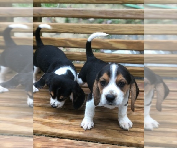 Medium Photo #3 Beagle Puppy For Sale in SPENCER, TN, USA