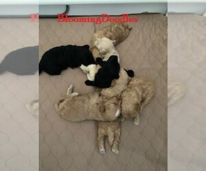 Aussiedoodle-Poodle (Miniature) Mix Puppy for sale in REEDS SPRING, MO, USA