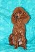Poodle (Miniature) Puppy For Sale in GRAY, LA