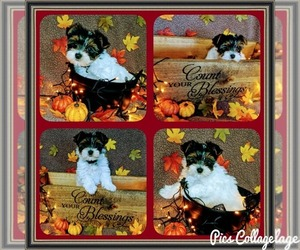 Yorkshire Terrier Puppies For Sale Near Fort Leavenworth