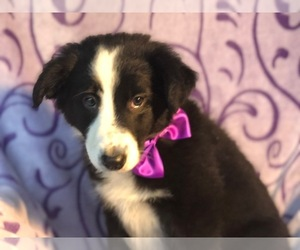 Border Collie Puppy for sale in BEARTOWN, PA, USA