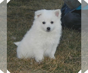 American Eskimo Dog Puppy for sale in SOUTH BEND, IN, USA