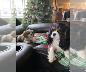 Father of the Cavalier King Charles Spaniel puppies born on 10/09/2020