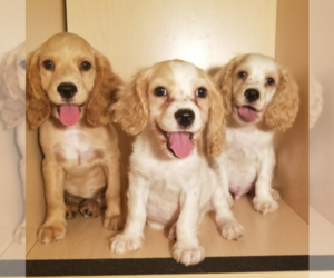 Cocker Spaniel Puppy for Sale in SAN DIEGO, California USA