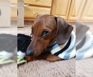 Dachshund Puppy for sale in BATTLE GROUND, WA, USA
